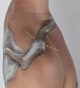 ac gewricht anatomie Fysiotherapie Middenweg Amsterdam Oost